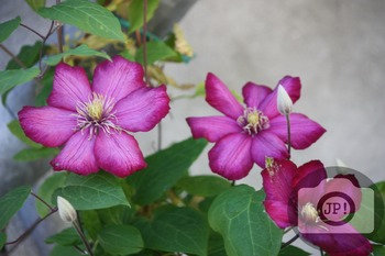 167 - FLOWERS - Clematis  [By Just Photos!]