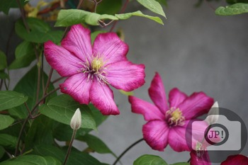 169 - FLOWERS - Clematis  [By Just Photos!]