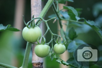 192 - GREEN TOMATOES ON THE VINE [By Just Photos!]