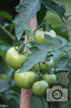 193 - GREEN TOMATOES ON THE VINE [By Just Photos!]