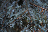 2 stock photos silver Cristmas tree close up