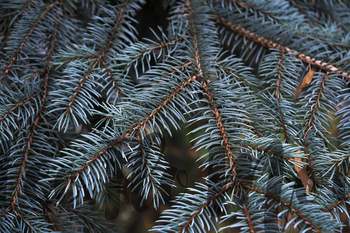 2 stock photos silver Cristmas tree close up