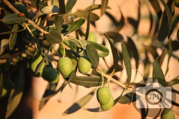 232 - OLIVES [By Just Photos!]