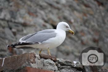 240 - BIRD - Seagull [By Just Photos!]