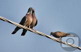 263 - BIRD - WOOD PIGEON [By Just Photos!]