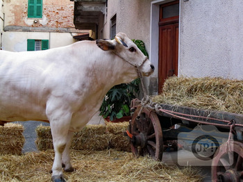 267 - ANIMAL - COW [By Just Photos!]
