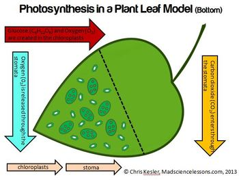 Photosynthesis 3 d leaf model color and bw by kesler science tpt photosynthesis 3 d leaf model color and bw ccuart Gallery