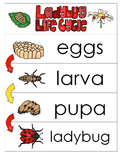 3 Ladybug Life Cycle Charts and Worksheets. Preschool-1st