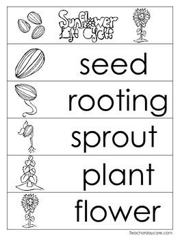 3 Sunflower Life Cycle Charts and Worksheets. Preschool-1st Grade. Homeschool.
