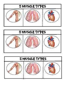3 Types of Muscles Flipbook
