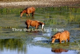 3 Wild Horses in the Water Stock Photo #242