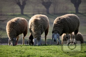 310 - ANIMAL - SHEEP [By Just Photos!]