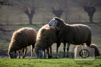 311 - ANIMAL - SHEEP [By Just Photos!]