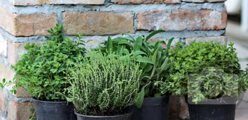 321 - HERBS - THYME, MARJORAM, SAGE, OREGANO [By Just Photos!]