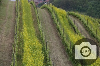 33 - LANDSCAPE - ITALY - vineyard [By Just Photos!]