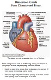 4-Chambered Heart Dissection Guide