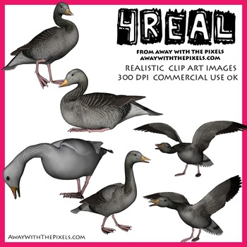 4 Real! 6 Realistic Goose Clip Art Images - Geese Clipart