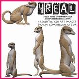 4 Real! 4 Realistic Meerkat Clip Art Images - Large High Q