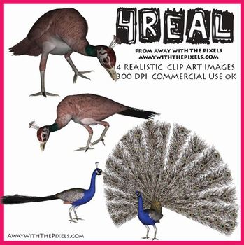 4 Real! 4 Realistic Peacock & Peahen Clip Art Images from Away With The Pixels