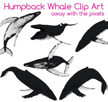 4 Real! Realistic Humpback Whale Clip Art - Atlantic, Paci