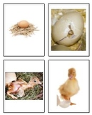 4 Step Egg Hatch Sequencing Activity