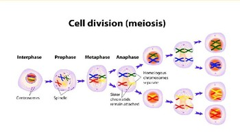 5.1 and 5.2 Meiosis and Genetic Diversity Lecture Slides
