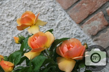 56 - FLOWERS - roses [By Just Photos!]