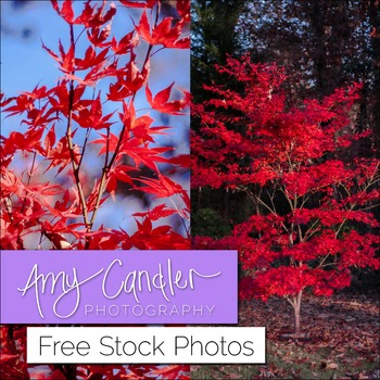 Free Red Maple Tree Photo Bundle