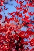 Free Red Maple Tree Photo Bundle