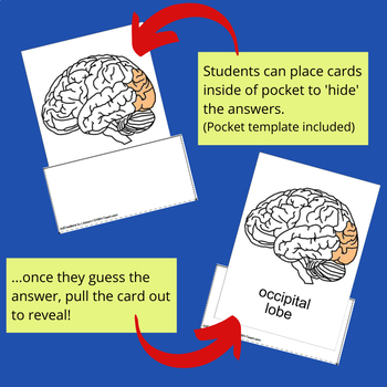 6 Main Parts of the Brain - Human Anatomy Nomenclature Cards