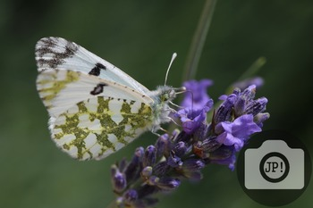 66 - INSECT - butterfly [By Just Photos!]