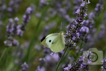 67 - INSECT - butterfly [By Just Photos!]