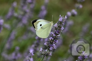 68 - INSECT - butterfly [By Just Photos!]