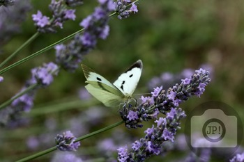 69 - INSECT - butterfly [By Just Photos!]