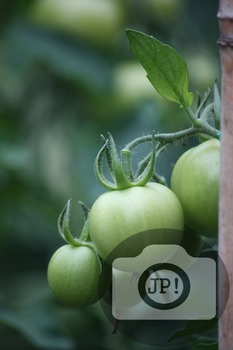 184 - GREEN TOMATOES ON THE VINE [By Just Photos!]