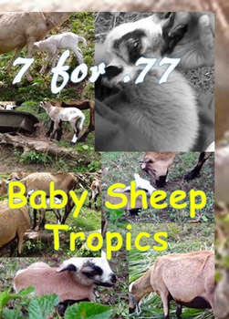 7 for .77 cent photos-baby sheep (lambs)