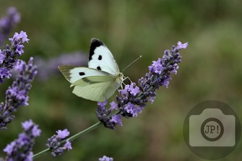 70 - INSECT - butterfly [By Just Photos!]