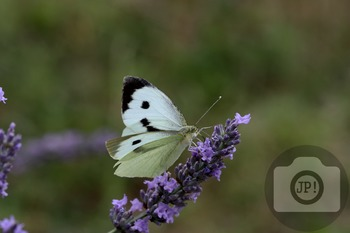 71 - INSECT - butterfly [By Just Photos!]