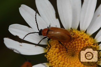 75 - INSECT - Insect on flower [By Just Photos!]