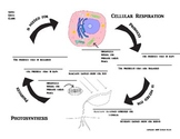 7th grade cellular respiration and photosynthesis chart