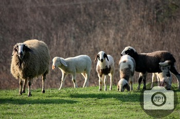 84 - ANIMAL - Sheep [By Just Photos!]