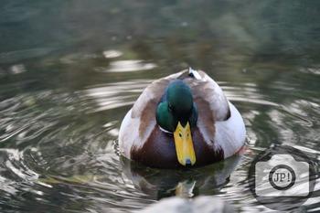 87 - BIRD - Mallard [By Just Photos!]