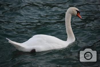90 - BIRD - Swan[By Just Photos!]