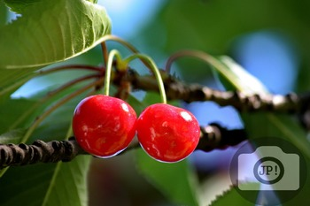 99 - FRUIT - Cherry [By Just Photos!]