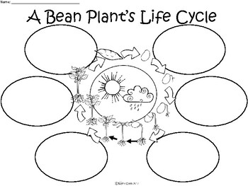 A+ A Bean Plant's Life Cycle ...Three Graphic Organizers