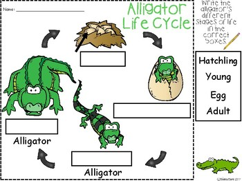 A+ Alligator  Life Cycle Labeling & Word Wall
