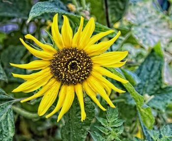 A Beautiful Sunflower