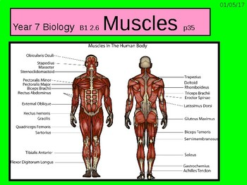 "A Grade 6 lesson on ""Muscles""."