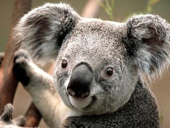 A Koala Webquest