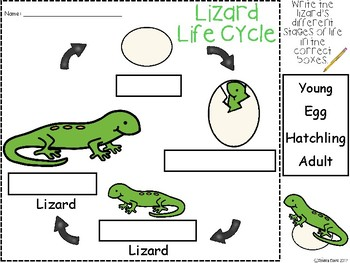 A+ Lizard Life Cycle Labeling & Word Wall